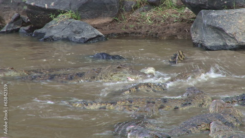 Crocodiles fight over a hunted wildebeest