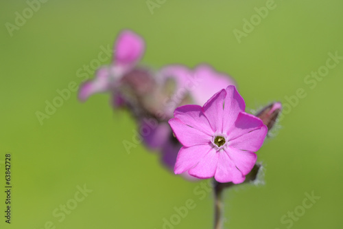 Red campion (Silene diocia) close up.