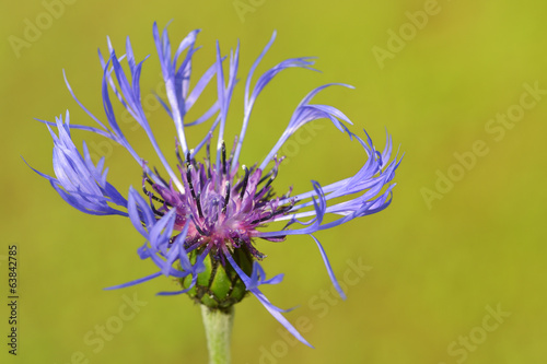 Mountain bluet ( Centaurea montana) close-up.