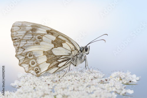 Marbled white butterfly close up.