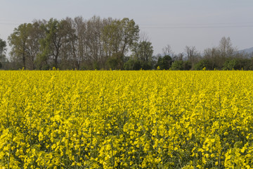 blooming field of rapeseed