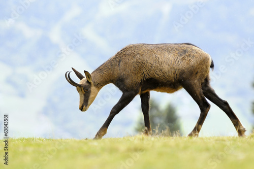 Chamois (Rupicapra carpatica) standing on hillside.