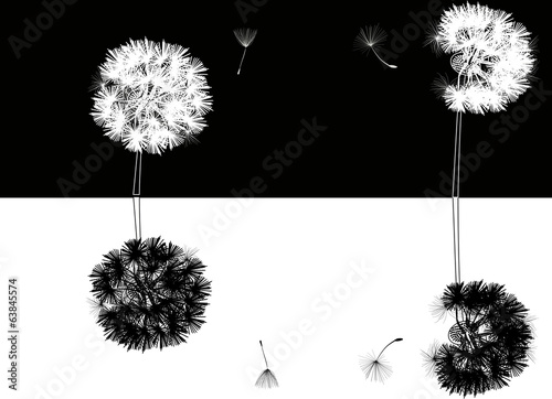 four dandelions on black and white background