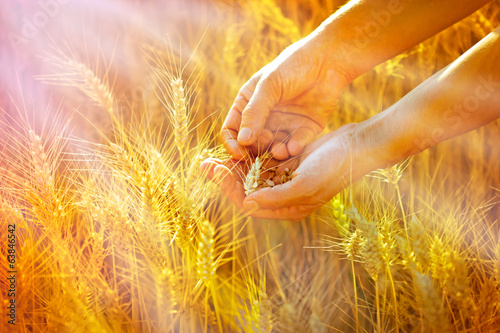 Rays of the setting sun on hands of farmer - wheat in hands
