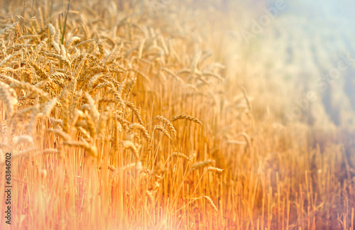 Harvest has begun - field of wheat