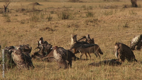 Black backed jackal sharing food with vultures