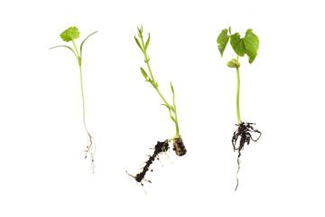 germination of three beans isolated on white - horsebean; corian