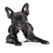 canvas print picture - french bulldog