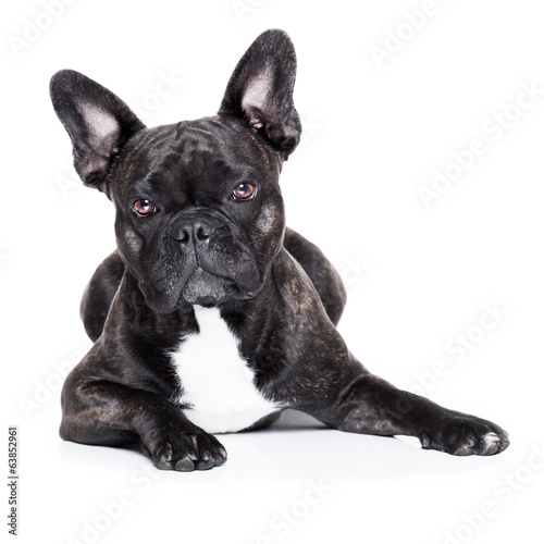 canvas print picture french bulldog