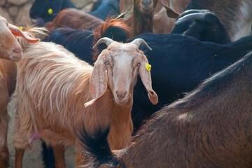 Goat in a herd