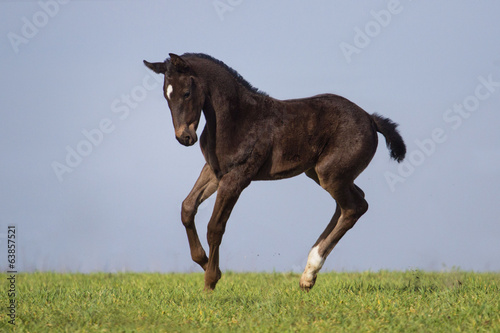Running black foal in spring field