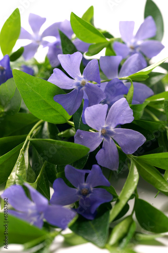 Vinca flower isolated on white background