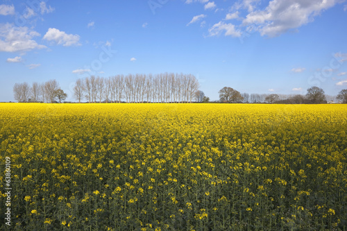 rape seed crop and poplars