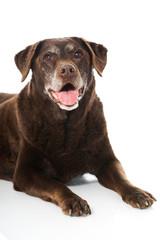 Alter Labrador Retriever