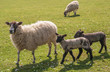 Scottish Mule x Suffolk, ewe and twin lambs