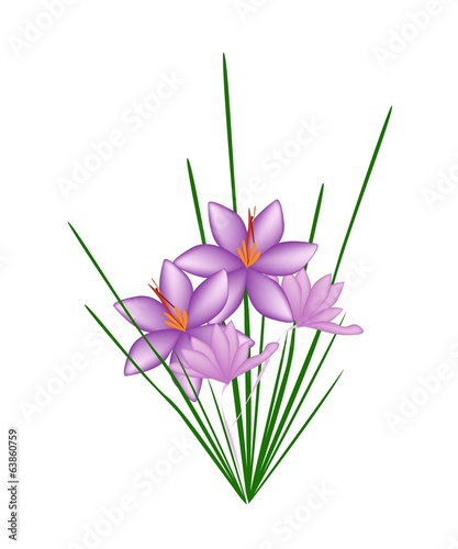 Purple Crocus Sativus Flower on  White Background