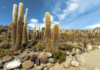 Group of Cacti in Bolvia