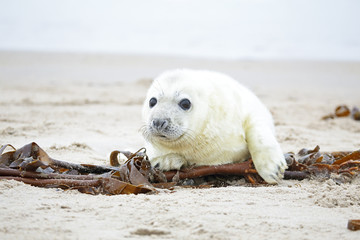 White grey baby seal  looks inquisitively at the beach with big