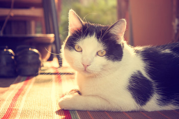 Cute Cat Lying on Carpet at Sunset