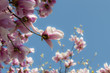 canvas print picture - magnolia