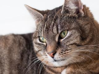 Tierportrait Hauskatze -  Europäisch Kurzhaar