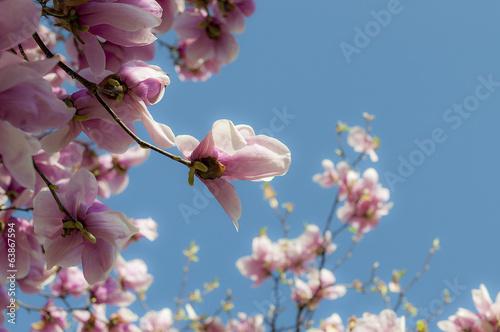 canvas print picture magnolia