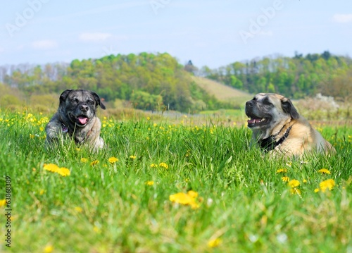 canvas print picture kangal paar