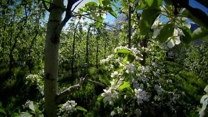 fioritura pianta di melo
