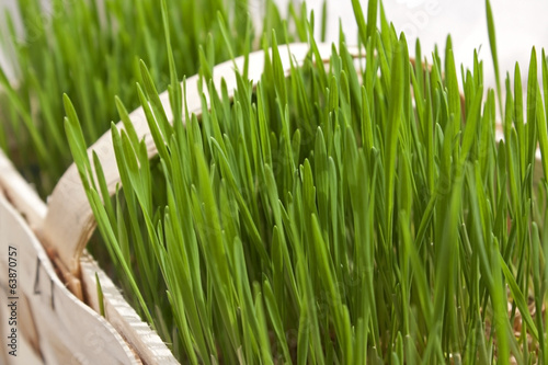 Planted green wheat grass growing in a basket.