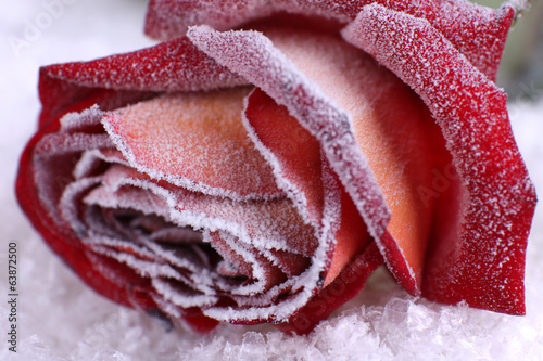 Rose covered with hoarfrost close up