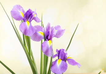 Beautiful iris flower on bright background