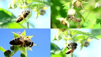 Bee pollinate a raspberry, multiscreen composition.
