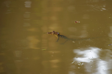 Baby Spectacled caiman on the water surface