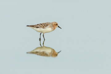 Broad-billed Sandpiper(Limicola falcinellus) in mating feather