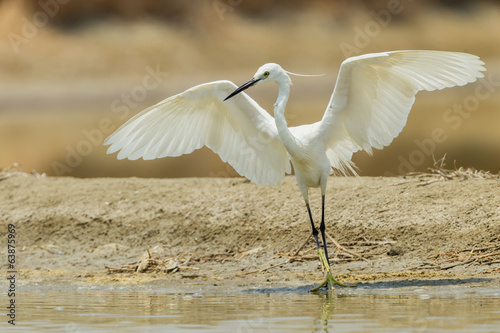 Little Egret (Egretta garzetta) on dancing in nature