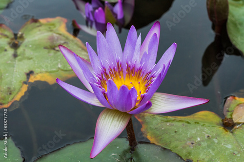 Beautiful photo of lilac lotus .