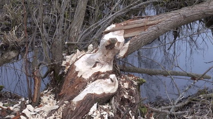 Willowtree taken down by beaver in spring