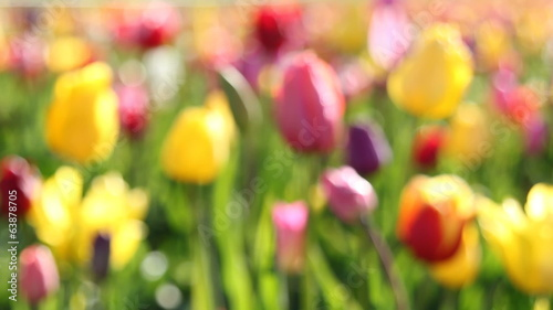 Colorful Tulips Out of Focus Bokeh Background Closeup