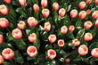 fiori esposizione colture floreali