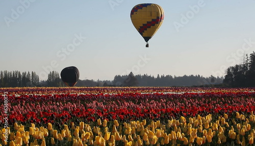 Hot Air Balloons taking off in Colorful Tulip Farm in Spring