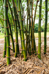 bamboo clump in garden