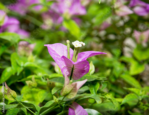 Close up of a bougainvillea purple flowers