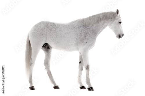 Papiers peints Chevaux White horse isolated on white