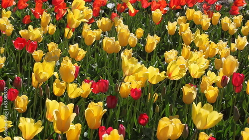 Colorful Tulips in Woodburn Oregon on a Breezy Spring Day