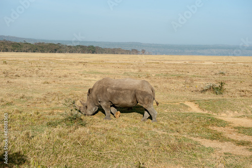 canvas print picture rhino