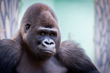 Portrait de gorille des plaines
