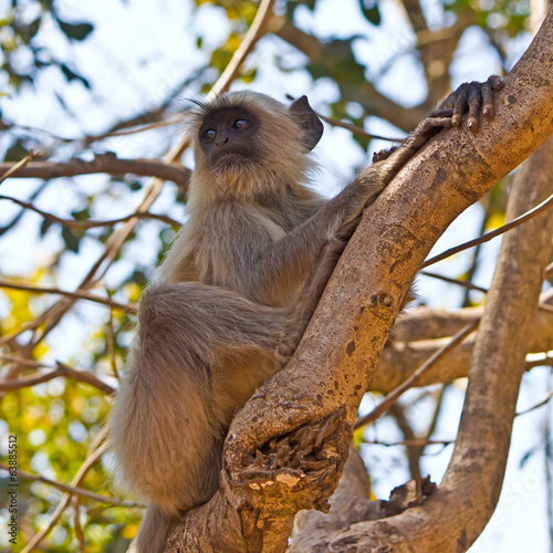 Langur on a tree