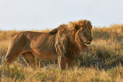 A lion  in the savannah