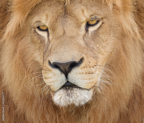 Portrait of a majestic lion crowned with mane