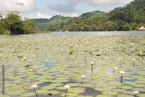 Aquatic flowers at isla de las flores on river Dulce near Livin